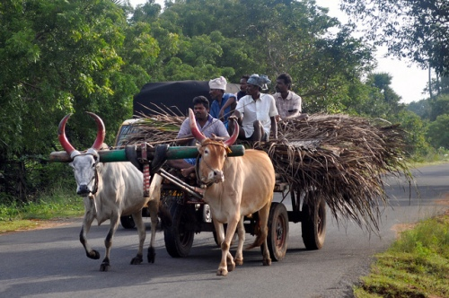 A typical ox-drawn cart in India