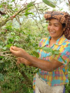 Picking coffee beans in Sumatra
